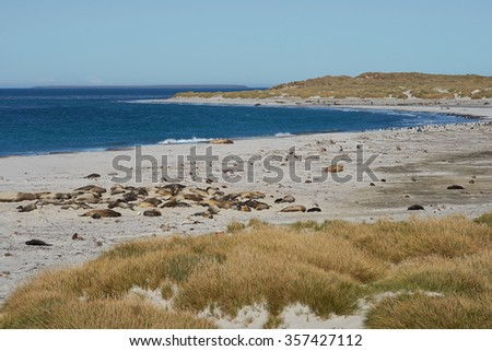 Breeding group of Southern Elephant Seal (Mirounga leonina) on a beach during the breeding season on Sealion Island in the Falkland Islands.