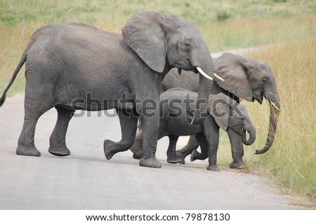 Breeding herd of African Elephant (Loxodonta africana) crossing the road in Kruger National Park, South Africa