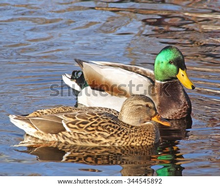 Breeding Pair of Mallard ducks  - Mallard male looking at female - stock photo