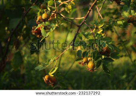 Briar bush at the sunset - stock photo