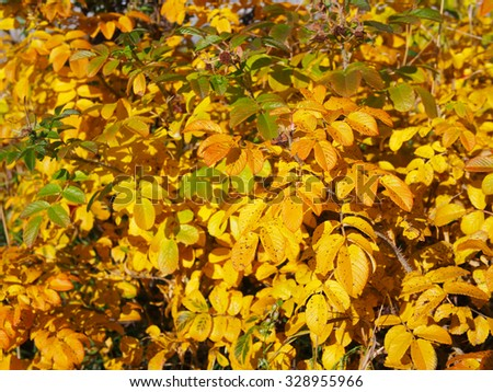 Briar / dog-rose / rose hips growing on the bush with yellow leaves in autumn - stock photo
