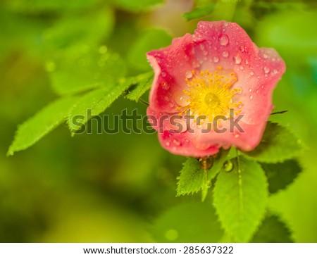 briar flower with water drops at summer season bush - stock photo