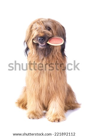Briard holding brush in its mouth on white background - stock photo
