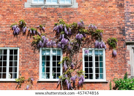 Brick wall of an old house with climbing wisteria. - stock photo