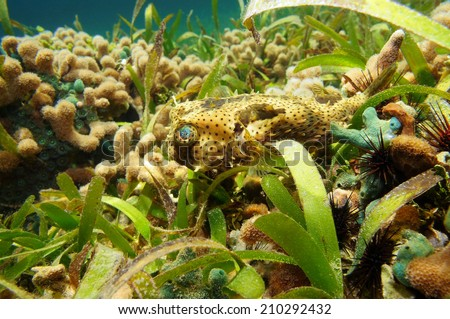 Bridled Burrfish, Chilomycterus antennatus, underwater in a coral reef of the Caribbean sea