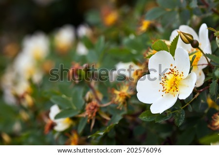 brier flowers against blur  background with copyspace - stock photo