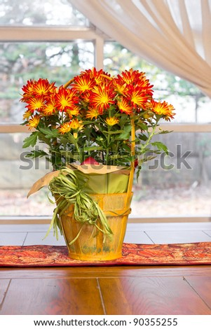 Bright and colorful chrysanthemums on a table near a window - stock photo
