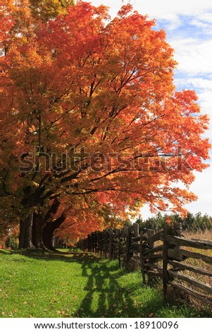 Bright autumn colors on maple trees beside a wooden fence.