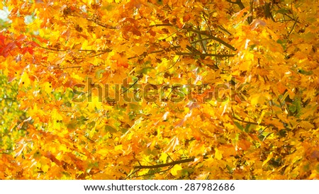 Bright autumn leaves in the natural environment. Fall trees, yellow orange nature background - stock photo