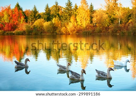 Bright autumn trees with their reflection in water and floating flock of geese - stock photo
