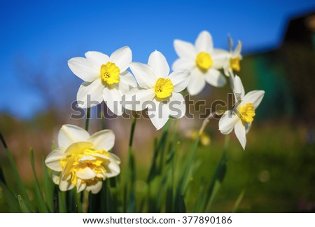 Bright blooming daffodils on the blurred background of green field and blue sky. Flowering narcissus. Spring flowers. Shallow depth of field. Selective focus. - stock photo