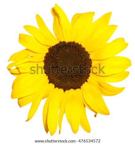 Bright blossom sunflower close up isolated