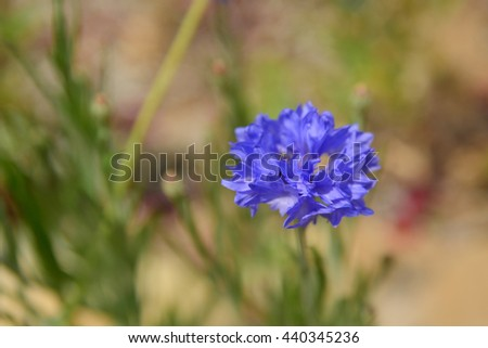 Bright Blue Corn Flowers on the Field in Summer at a Sunny Day - Selective focus point - stock photo