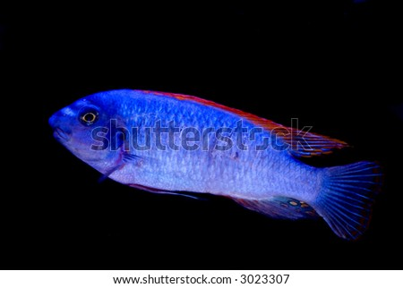 Bright blue fish with red fins isolated on black - stock photo