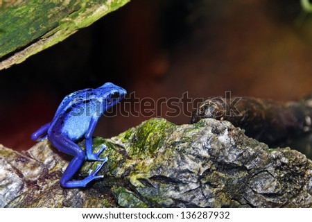 Bright blue poison dart frog sitting on a rock. - stock photo