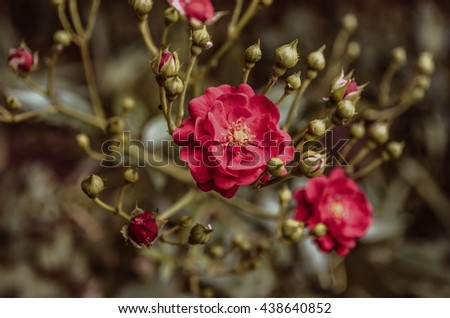 Bright  branch with  rosebud and red rose - stock photo