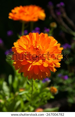 Bright calendula flower on flowerbed in garden - stock photo