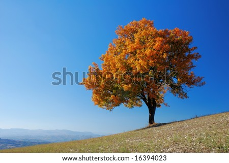 Bright colored fall tree with clear blue sky - stock photo