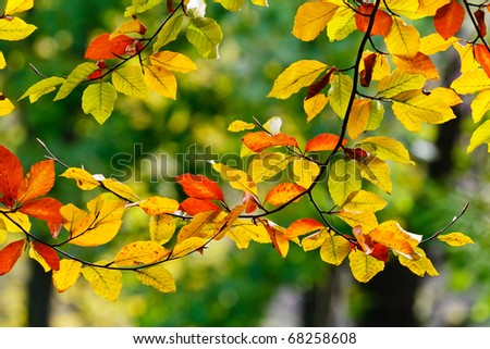 Bright colored leaves on the branches in the autumn forest. - stock photo