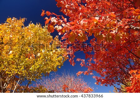 bright colorful autumn trees with red, yellow leaves against a bright blue sky. Beautiful natural autumn background. Sunny bright day  - stock photo