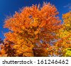 Bright colorful leaves on a Fall tree against a blue sky background - stock photo