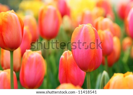 Bright, colorful tulips close up. Shallow DOF. - stock photo