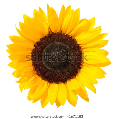 Bright colorful yellow sunflower isolated over white - stock photo