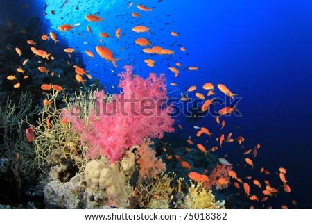 Bright colourful red Soft Coral. Scuba Diver in background - stock photo