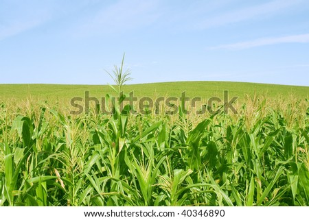 Bright corn green fild and blue sky - stock photo