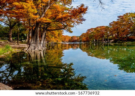 Bright Crisp Beautiful Fall Foliage on Large Cypress Trees Surrounding the Clear Frio River, Texas. - stock photo