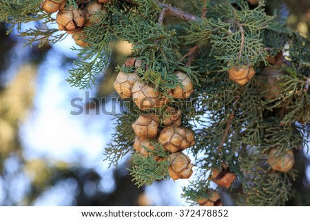 Bright cypress cones on a tree on blurred background - stock photo