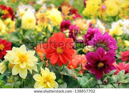 bright different colored dahlia flowers as a floral background or wallpapers - stock photo