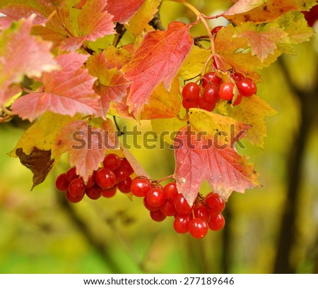 Bright Fall branch of red viburnum with red leaves - stock photo