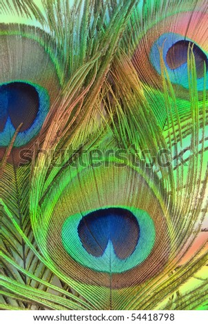Bright feathers of a peacock close up - stock photo