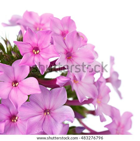 Bright flower phlox, photographed close-up. Isolated on white background.