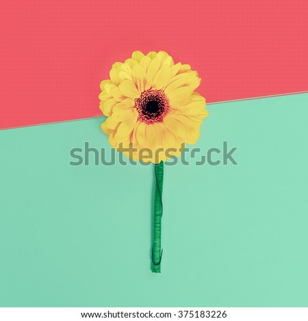 Bright Gerber flower on paper background. Minimalism style - stock photo