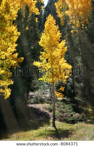 Bright gold of aspens (Populus tremuloides) in Autumn is emphasized by shafts of sunlight streaming through pine trees - stock photo