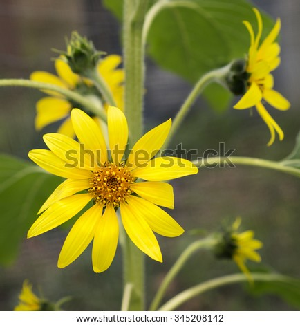 Bright golden sunflowers, happy yellow flowers  growing in the garden, symbolic of bounty, harvest, provision, vitality, energy, longevity, and healing and also representing third 3rd anniversary - stock photo