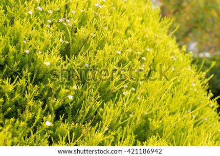 Bright green and yellow hedge plant, bush with small pink flowers close up. Nature spring or summer background. Selective focus, shallow DOF - stock photo