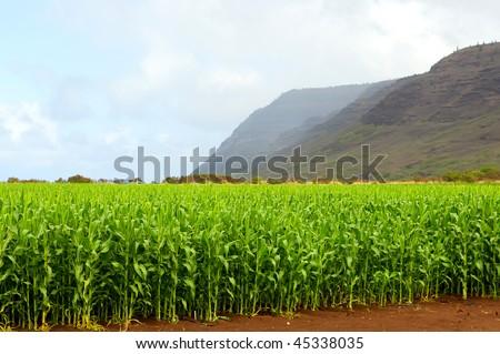 Bright green corn field in Kauai - stock photo
