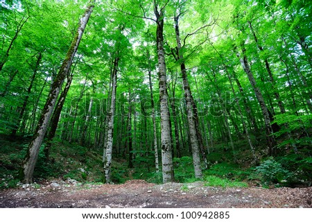 Bright green forest background with birch-trees and aspens