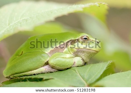 Bright green frog hides under the leaf in the forest.