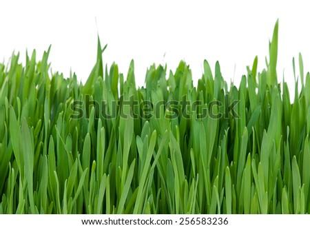 Bright green grass over white background - stock photo