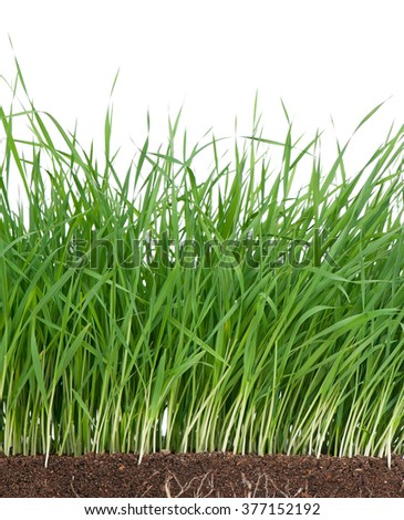 Bright green grass with roots in the organic soil over white background - stock photo