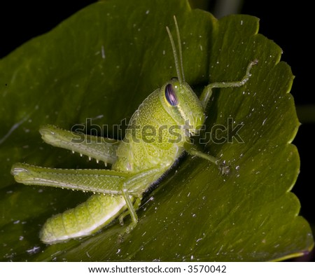 Bright green Grasshopper at night.