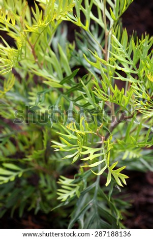 Bright green leaves from Grevillea plant - stock photo