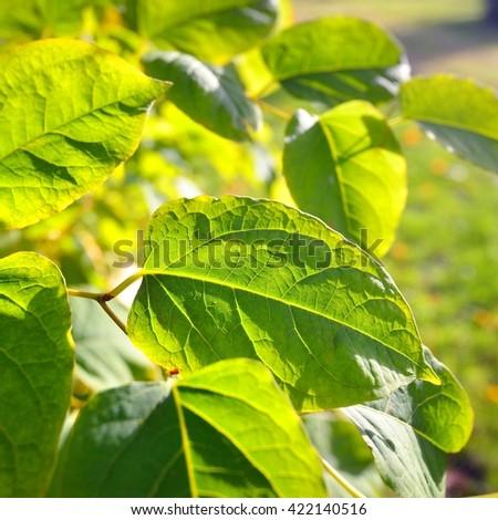 Bright green leaves in bright sun - stock photo