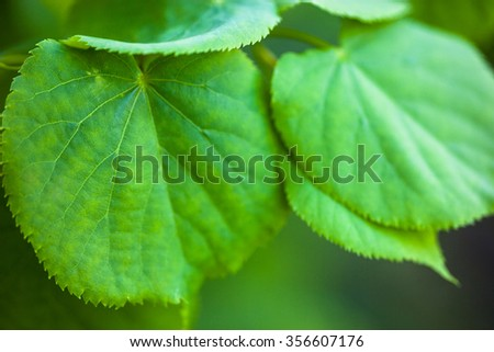 Bright green leaves of the lime tree - stock photo