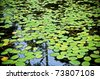 Bright green lilly pad's cover the surface of a pond - stock photo