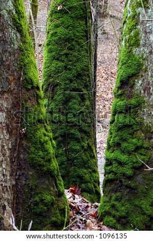 Bright Green Moss (bryophytes) on three oak tree trunks. - stock photo
